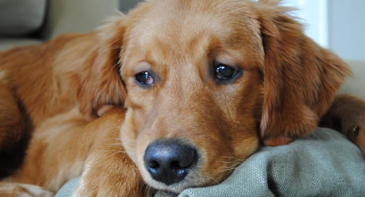 allergi hos hund
