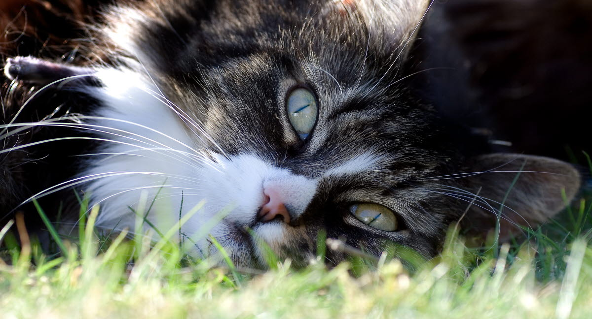 løpetid katt