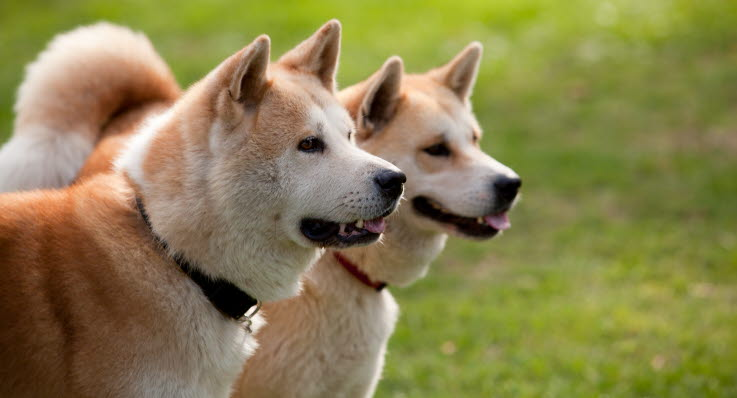 hikke hos hund
