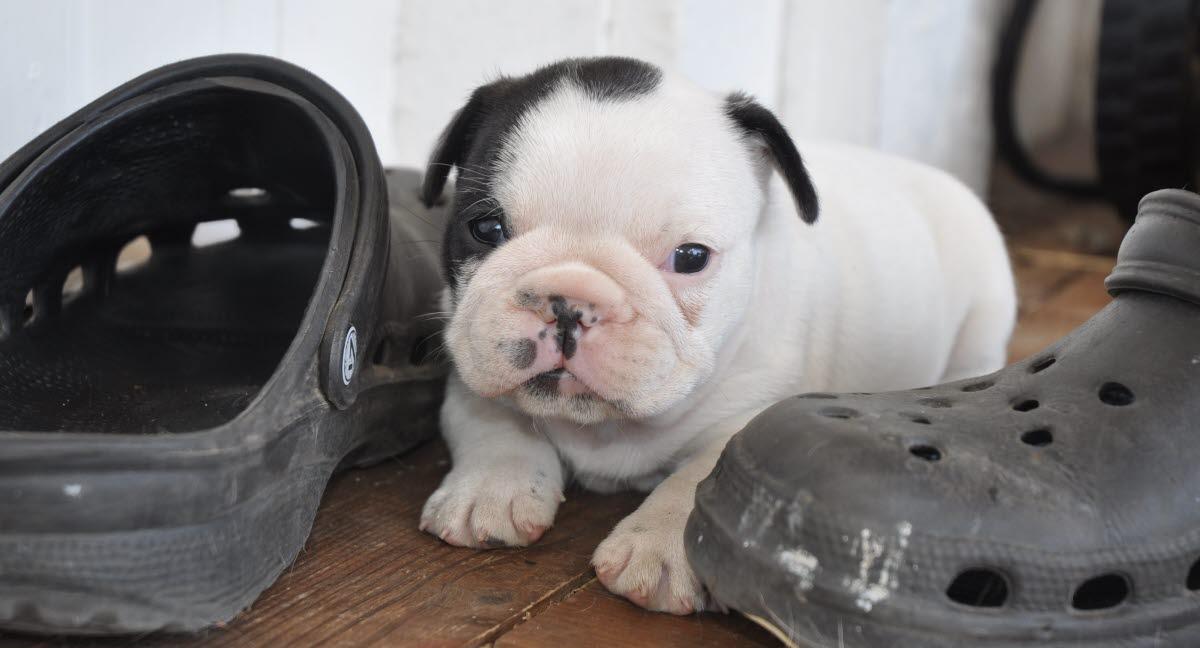 kjøpe fransk bulldog