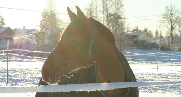 Hest på vinterbeite